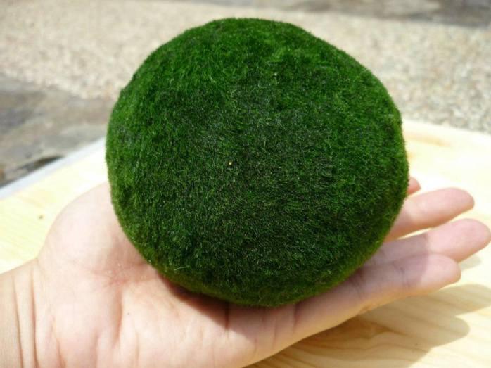 Jumbo size marimo moss ball eclecticzenmarimo for Marimo moss ball