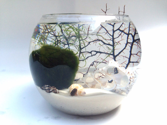 Giant Marimo terrarium with java moss and snail